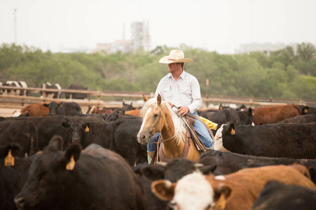 a pen rider in a full pen of cattle