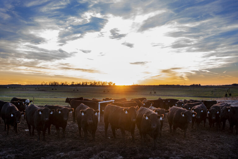 Calves at Sunset